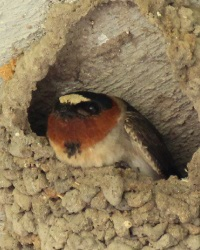Cliff Swallow at Goliad State Park