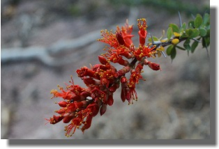 Ocotillo Cactus Bloom