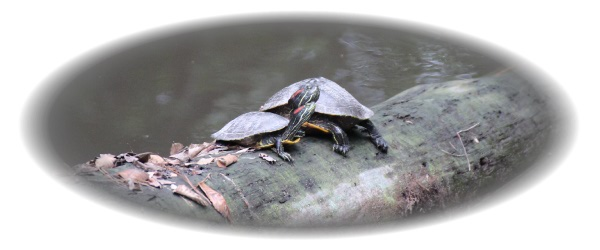 Two Red-Eared Turtles