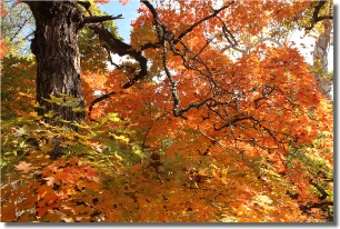 West Trail Orange Maple Tree